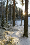 Snowy winter forest in Finland. Winter wonderland on a cold morning. Sunrise behind the trees. Snow covered ground. - 184338114