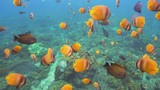 Fish and coral reef. Wonderful and beautiful underwater world with corals and tropical fish. Hard and soft corals. Diving and snorkeling in the tropical sea. Travel concept. 4K video. - 184348912