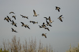 Flock of Canada Geese Flying Over The Autumn Marsh - 184351319