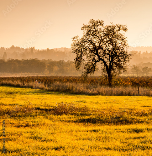 Fotobehang Honing A late afternoon scene in autumn. A greenish area of short grasses are in foreground. A single oak tree stands to the right in a vineyard. Hills with trees shrouded in fog are in the background.