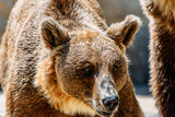 Brown Bear (Ursus Arctos) Portrait - 184353188