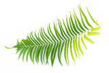 green leaves of fern isolated on white - 184356517