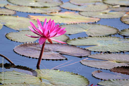 Poster Water planten red water lily flower in the pond