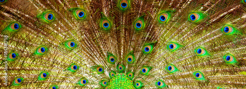 Plexiglas Pauw Background, beautiful peacock tail. Nature and backgrounds.