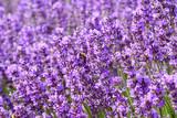 Fleurs de lavande sur le champ. Une abeille sur les fleurs. - 184383139