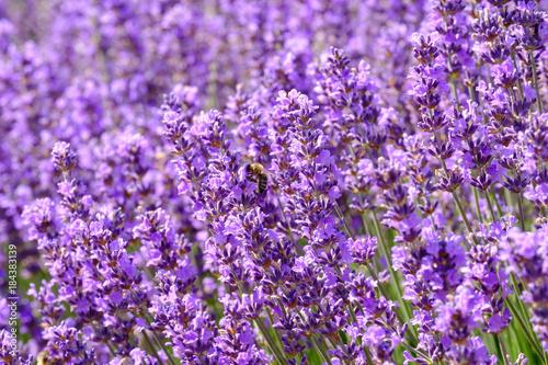 Poster Lavendel Fleurs de lavande sur le champ. Une abeille sur les fleurs.