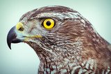 goshawk close up - 184385319