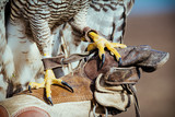 Falconer with hawk on the hand - 184385354