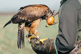 Falconer with hawk on the hand - 184385370