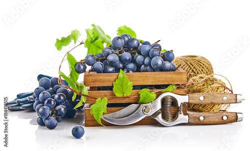 Blue grapes in wooden box with vine pruner still life glove