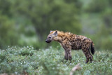Spotted hyaena in Kruger National park, South Africa