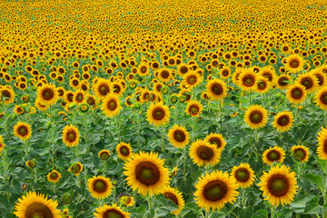 Field of dense sunflowers blooming in France