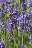 abeille - 184425958