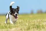 Jack Russell Terrier male 2 years old - cute little dog running fast and joyfully across a green meadow against a blue sky in spring
