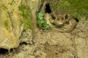 Common toad (Bufo spinosus)