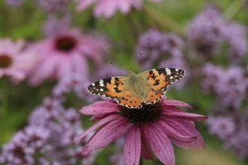 Distelfalter, Vanessa cardui, auf Echinacea Blüte