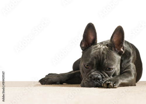 Plexiglas Franse bulldog sad dog