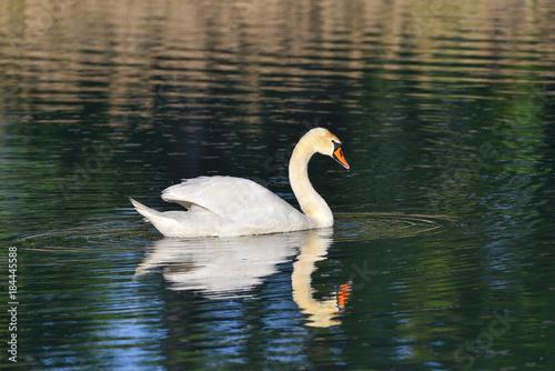 Plexiglas Zwaan Cigno reale che nuota sul lago, con l'immagine riflessa nell'acqua