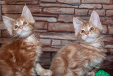 Two ginger maine coon kittens. - 184461322