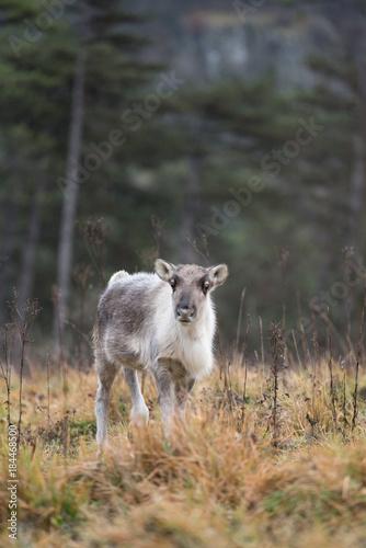 Plexiglas Wolf Faon de renne dans la végétation. Rangifer tarandus.