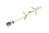 Lavender flowers. - 184472503