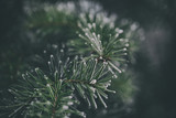 Close up of a frozen pine tree branch - 184475774