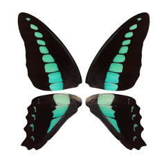 Beautiful butterfly wings in black with green, turquoise and blue spots isolated on white background
