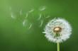 Dandelion Blowing - 184485137