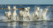 White Camargue Horses galloping along the beach in Parc Regional de Camargue - Provence, France - 184492126