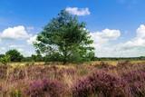 Heideblüte im Naturpark Lüneburger Heide in Norddeutschland