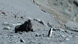 Two seals and a penguin are moving along the beach. Andreev. - 184506544