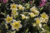 yellow lilies  / Garden lilies , yellow