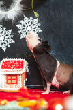 Skinny guinea pig and gingerbread house before Christmas - 184517164