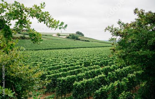 In de dag Olijf Beautiful vineyards in Bordeaux