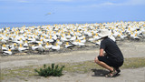 Gannet colony at Cape Kidnappers, Hawkes Bay - 184524792
