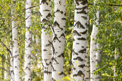 Fotobehang Berkenbos white trunks of a birch on the nature