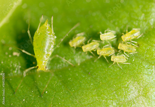 Plexiglas Natuur small aphid on a green leaf in the open air