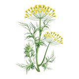 Dill herb with small yellow bloom and green stem - 184530944