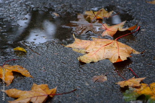 Fotobehang Herfst Fallen maple tree leaves on wet asphalt in rainy autumn day. Autumn background.