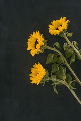beautiful blooming sunflowers isolated on black