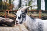 Portrait of a West African Dwarf goat (Capra aegagrus hircus) - 184555167
