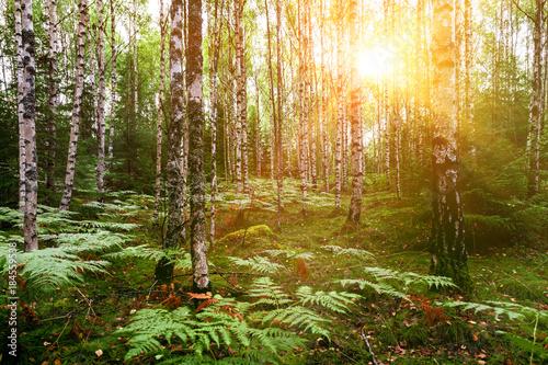 Birkenwald im Sonnenschein - 184559538