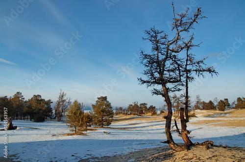 Foto op Aluminium Blauwe jeans Russia. Baikal Lake, Relict pine trees on the Olkhon island.