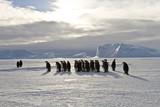Emperor penguins(aptenodytes forsteri) walking on the ice amongst icebergs in the sea Davis