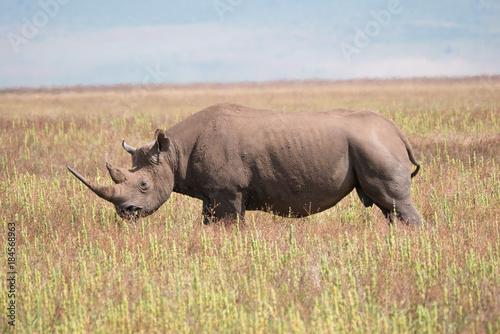 Fotobehang Neushoorn Black Rhino in Ngorongoro Conservation Area
