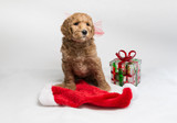 Labradoodle pups for Christmas - 184584128