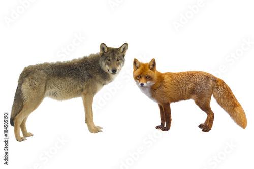 Plexiglas Wolf gray wolf and fox