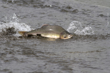 male pink salmon floating on the shallow mouth of the river before entering the spawning river