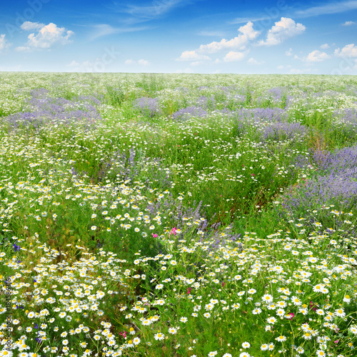 Fototapeta Picturesque field covered with grass, lavender, daisies