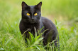 Beautiful bombay black cat portrait with yellow eyes and attentive look in green grass in nature